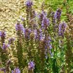 Salvia nemorosa Blauhügel
