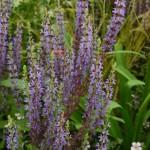 Salvia nemorosa Ostfriesland
