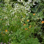 Thalictrum Splendide White