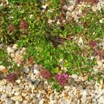Thymus serpyllum coccineus Major