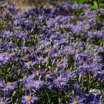 Aster macrophyllus 'Twilight'