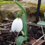 Galanthus plicatus E. A. Bowles