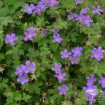 Geranium wlassovianum