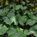 Ligularia The Rocket