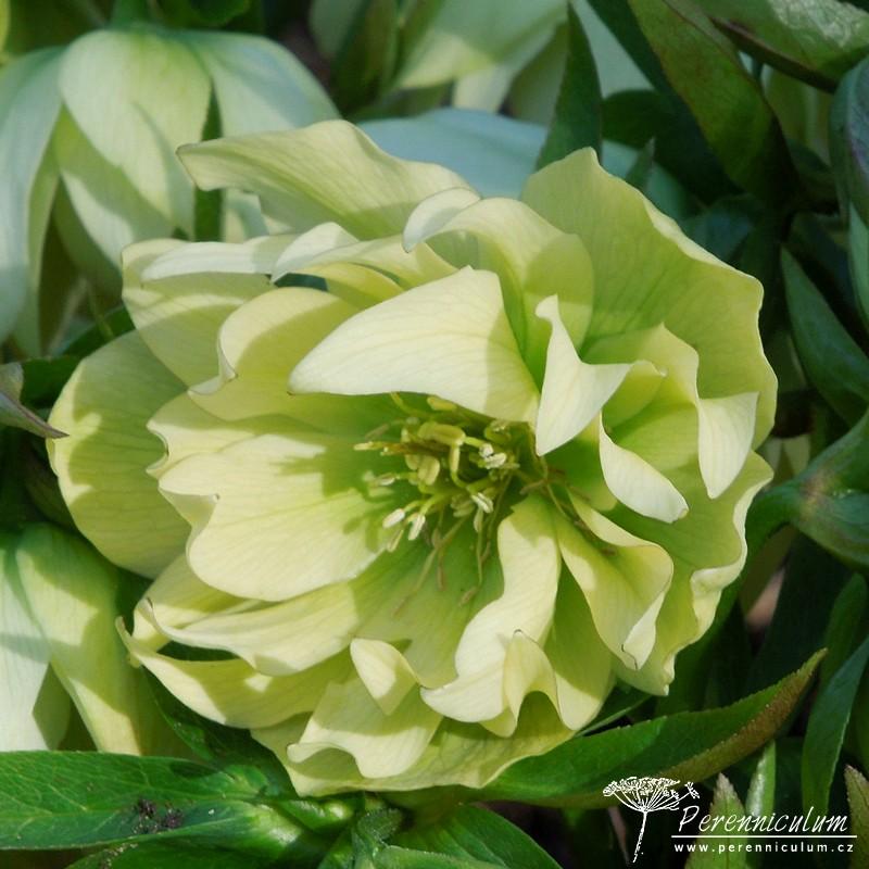 čemeřice - Helleborus