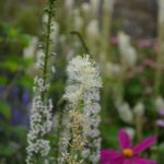 Actaea cimicifuga var. racemosa