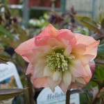 Helleborus Harvington Double Apricot