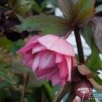 Helleborus Harvington Double Pink