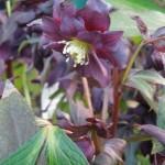 Helleborus Harvington Double Purple Cascade