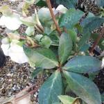 Helleborus Mollys White
