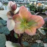 Helleborus x ericsmithii Pink Beauty