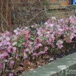 Helleborus Walbertons Rosemary