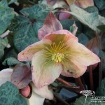 Helleborus Winter Moonbeam
