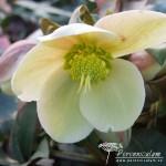 Helleborus × ericsmithii