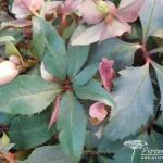 Helleborus x ericsmithii Monte Cristo