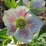 Helleborus x hybridus formy