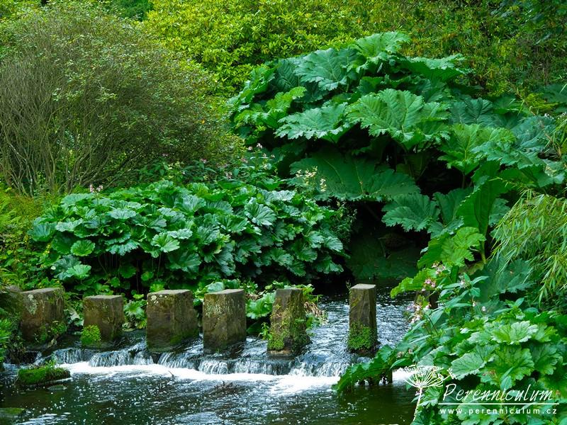 Na břehu potoka protékajícího Himalájskou zahradou rostou obří listy baroty <em>Gunnera</em>).