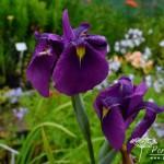 Iris ensata Gipsy