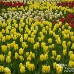 Tulipa viridiflora Yellow Springgreen