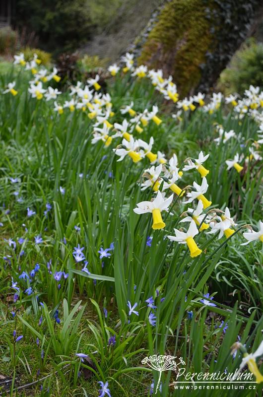 Narcisky a modré ladoňky (Scilla) kvetly v parku.