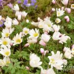 Anemone blanda White Spledour