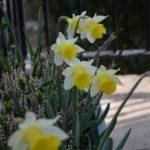 Narcissus Topolino