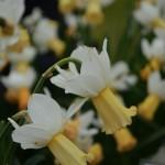 Narcissus Winter Waltz