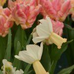Narcissus Winters Waltz