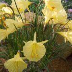 Narcissus romieuxii