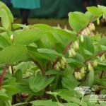 Polygonatum odoratum Red Stem