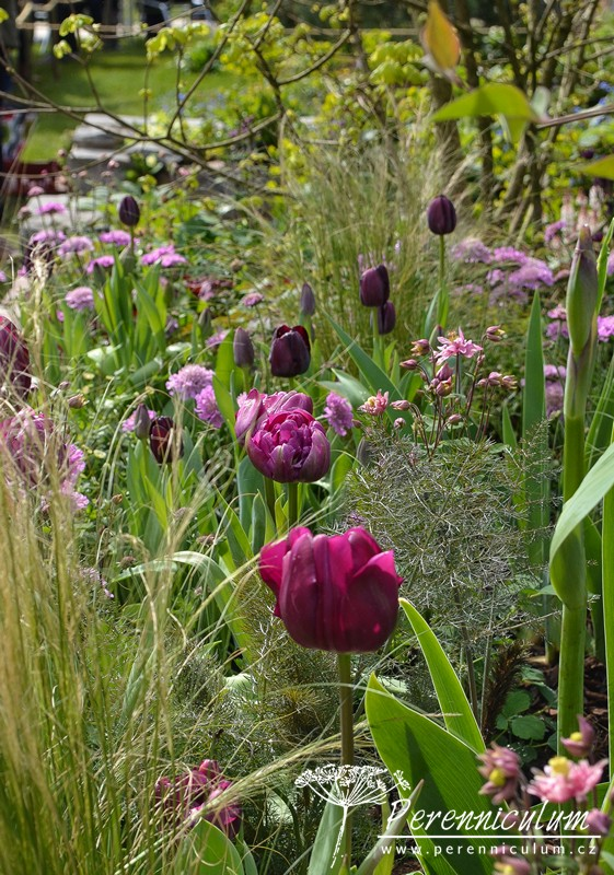 Dva druhy tulipánů Tulipa 'Queen of the Night' a světlejší, plnokvětý kultivar stojí pyšně mezi vlnícími se trávami.