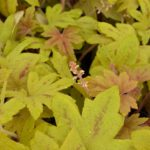 x Heucherella Sunrise Falls