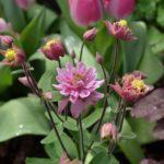 Aquilegia vulgaris Clementine Rose
