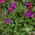 Aubrieta Audrey Purple-Red