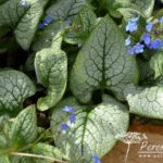 Brunnera macrophylla Sea Heart