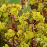 Euphorbia amygdaloides Rubra