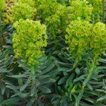 Euphorbia characias Humpty Dumpty