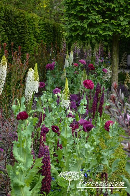 Bohaté výsadby kombinují zahradní máky (Papaver somniferum), bílé liliochvostce (Eremurus) či purpurové lupiny (Lupinus 'Masterpiece').