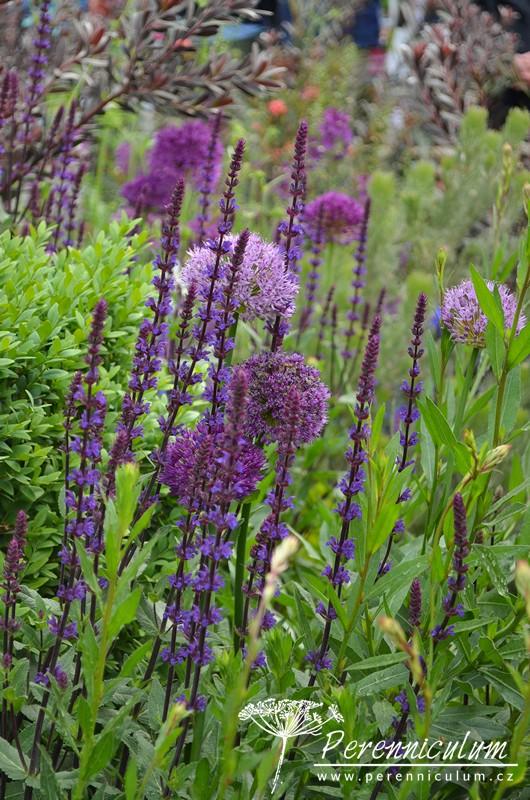 Kombinace střihaného svěže zeleného zimostrázu (Buxus) a fialových květů Salvia nemorosa 'Caradonna' a okrasných česneků ( Allium).