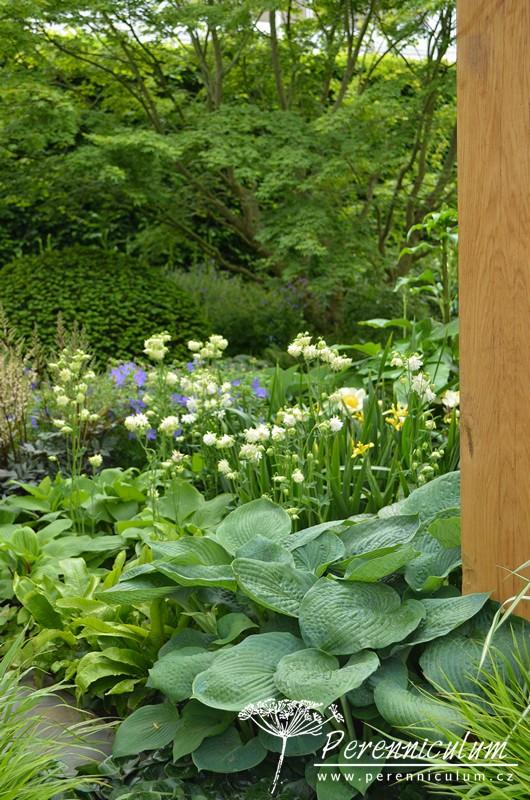Svěže zeleným výsadbám dominují velké listy bohyšky (Hosta 'Krossa Regal'), kapradiny nebo čistě bílé květy orlíčku (Aquilegia vulgaris).