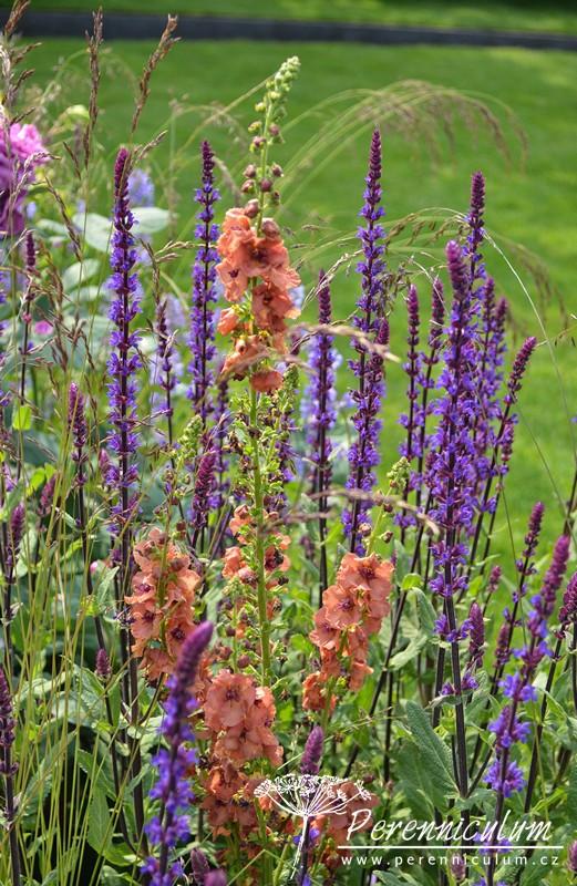 Její výsadby kromě mnoha kultivarů růží zahrnovali i tradiční anglické trvalky, jako například šalvěj (Salvia nemorosa 'Caradonna') a divizna (Verbascum 'Petra').