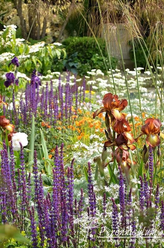 Hravé barvy květů kosatců (Iris 'Kent Pride') a fialové šalvěje (Salvia nemorosa 'Caradonna') mezi stébly trav (Stipa gigantea) přináší pozitivní energii.