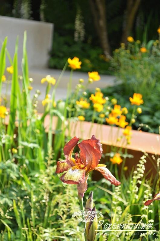 Rezavý květ kosatce Iris 'Kent Pride' podtrhoval použitý korten.