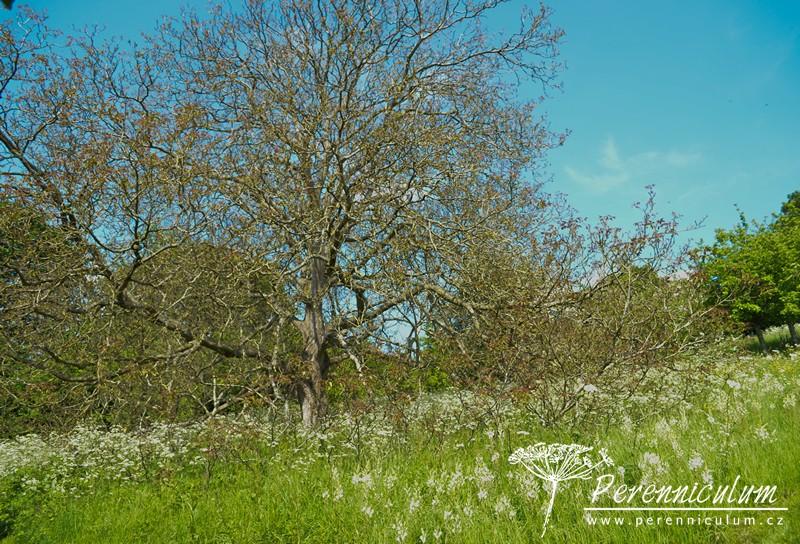Majestátní ořech (<em>Juglans regia</em>) v záplavě bíle kvetoucích ladoníků (<em>Camassia leichtlinii</em>).