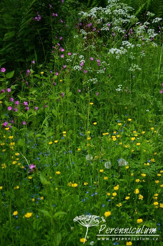 """Luční kvítí - žlutý pryskyřník (Ranunculus), odkvetlé pampelišky (Taraxacum), modrá """"bouřka"""" (rozrazil, Veronica) nebo růžová silenka (SIlene)."""