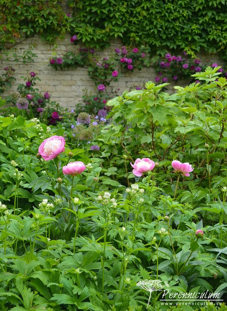 Záhony jsou plné kvetoucích růží (Rosa), pivoněk (Paeonia), jarmanek (Astrantia) a dalších trvalek.