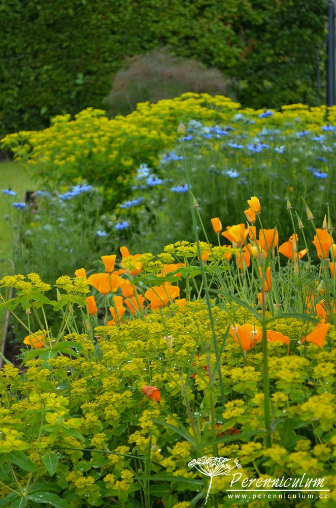 Barevné květy v řadách vysazených rostlin k řezu do vázy.
