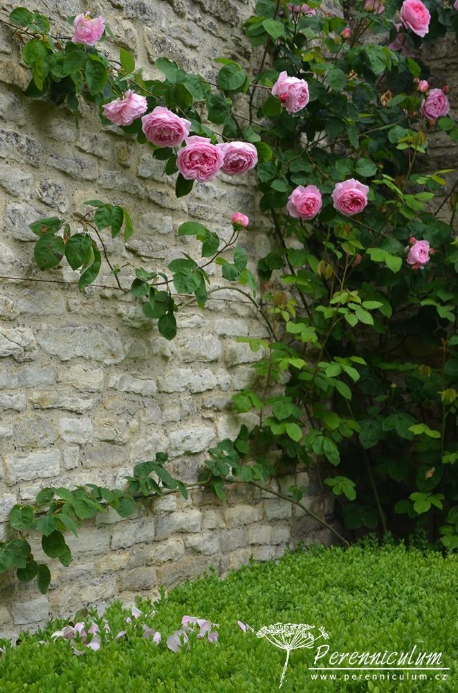 """Tradiční anglická zahrada by se samozřejmě neobešla bez růží, v zahradě jim byl dokonce věnován jeden z """"pokojů"""", růžová zahrada."""