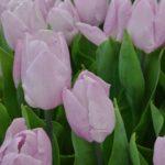 Tulipa Candy Prince