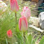 Tulipa Flaming Purissima